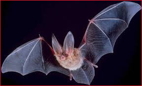 hiawassee bat removal of georgia - bat photo