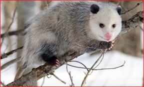 opossum_cnac_1