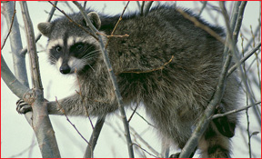 raccoons_cnac_1
