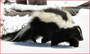 skunks_cnac_1