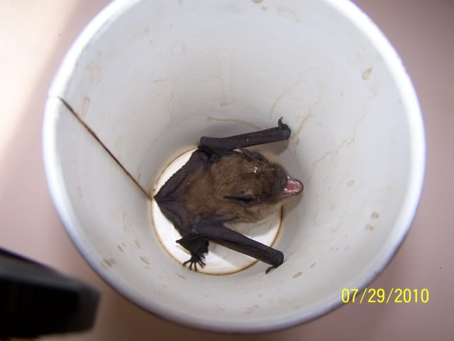 How Are Bats Removed From A Attic Home Or Structure