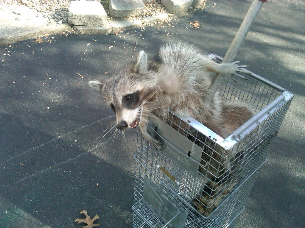 raccoon-gonna-get-in-the-cage-I-hope