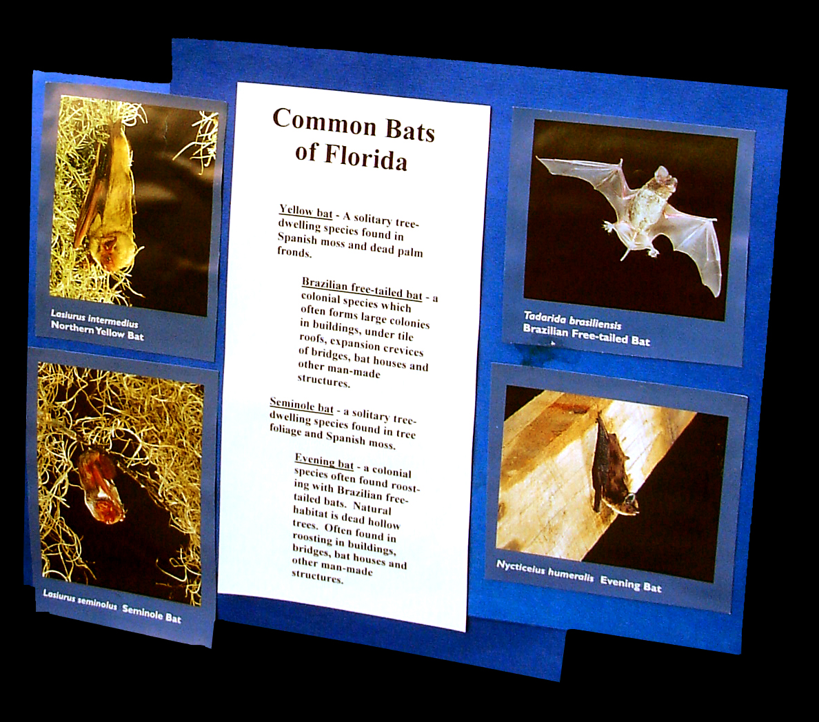 Common bats in Florida