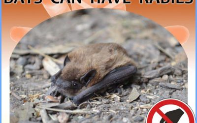 Bat Rabies – How Common Is Rabies From Bats?