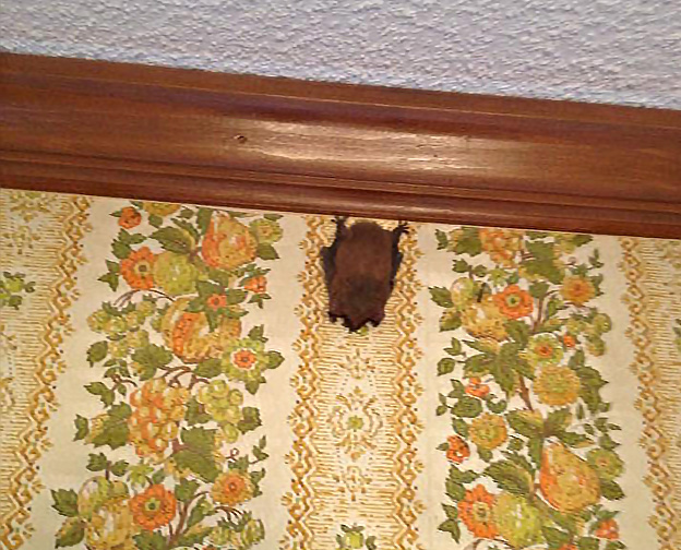 Photo: Bat on client wall for Triangle Wildlife  Removal on Apex, NC page