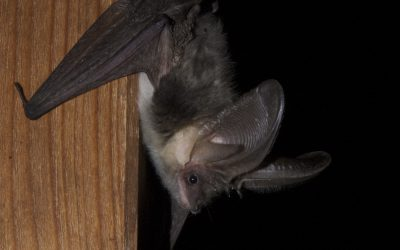 How to Handle Bats Living in Your Chimney