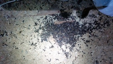 Bat Guano Before Removal