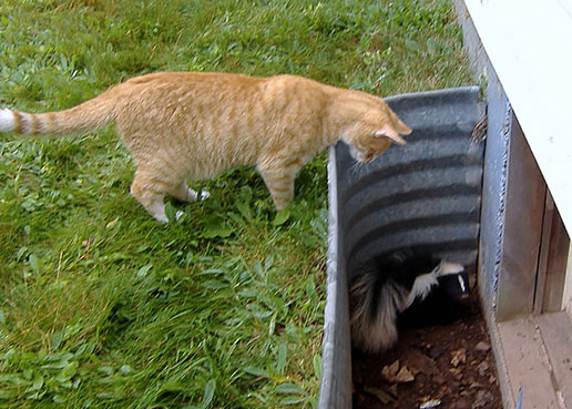 Photo: Cat and Skunk at our Wildlife Removal Services page