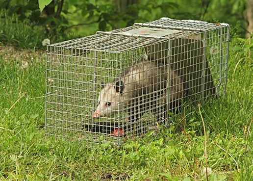 Photo: Opossum in a cage trap at our Wildlife Removal Services page