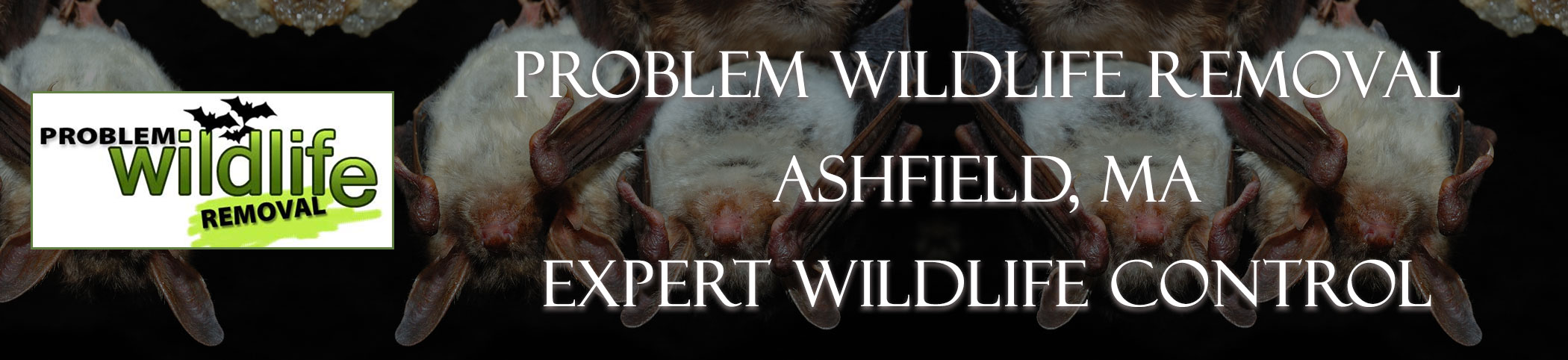 bat removal and bat exclusion by problem wildlife removal Ashfield ma