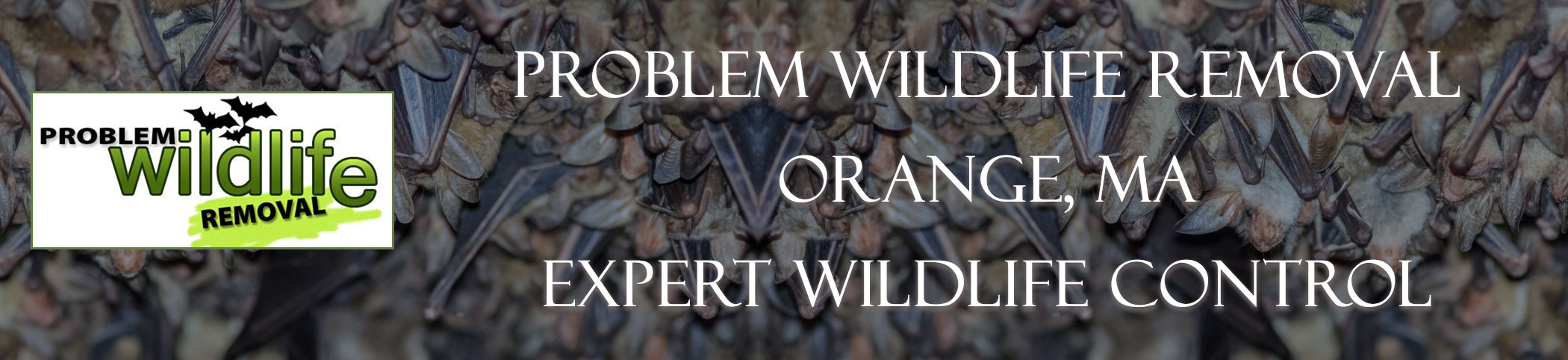 bat removal and bat exclusion by problem wildlife removal Orange ma
