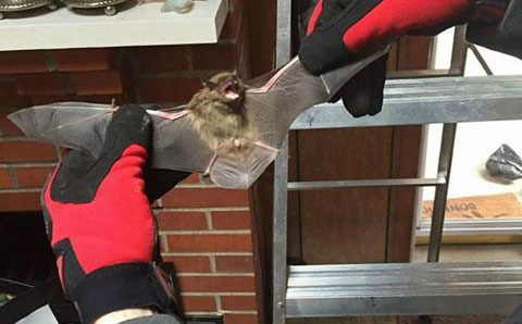 How To Capture And Remove A Bat In The House