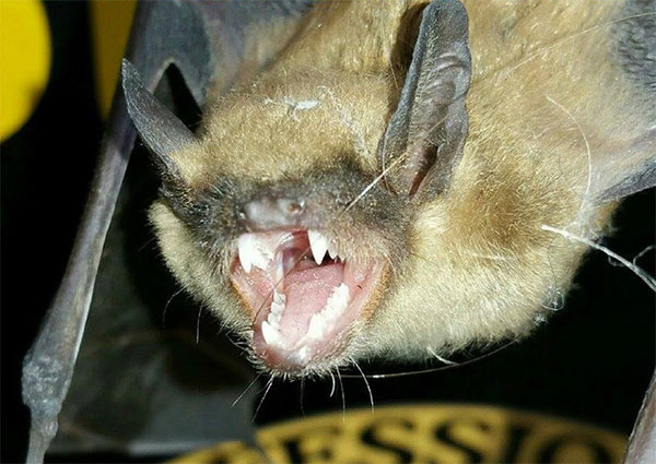 Animal Control Specialist, LLC, denver bat removal capturing a bat with very sharp teeth.