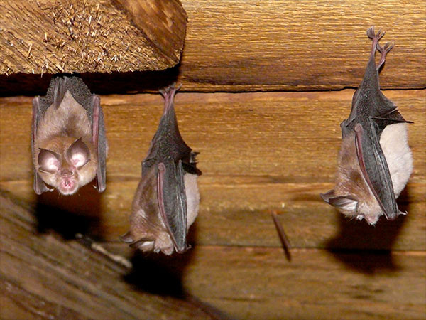 The Critter Team Humble Texas Bat Removal specialists found these three bats hanging in a San Marcos home