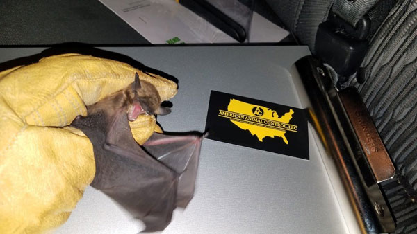 American Animal Control ® LLC New Buffalo Michigan Bat Control always get their bats! When you want the best you call AAC! Bat Photo in truck.