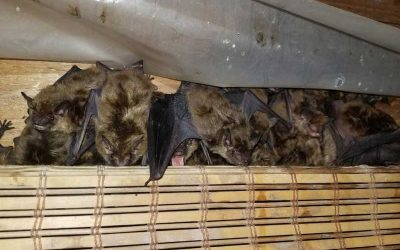Why You Should NEVER Block An Entry Point To Remove Bats