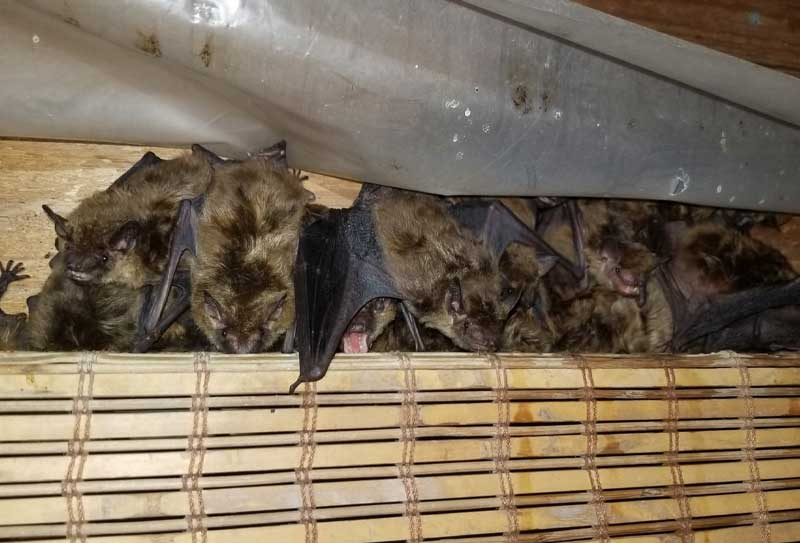 Bat Guano Contamination photo of bats behind a bamboo curtain a customer's attic.