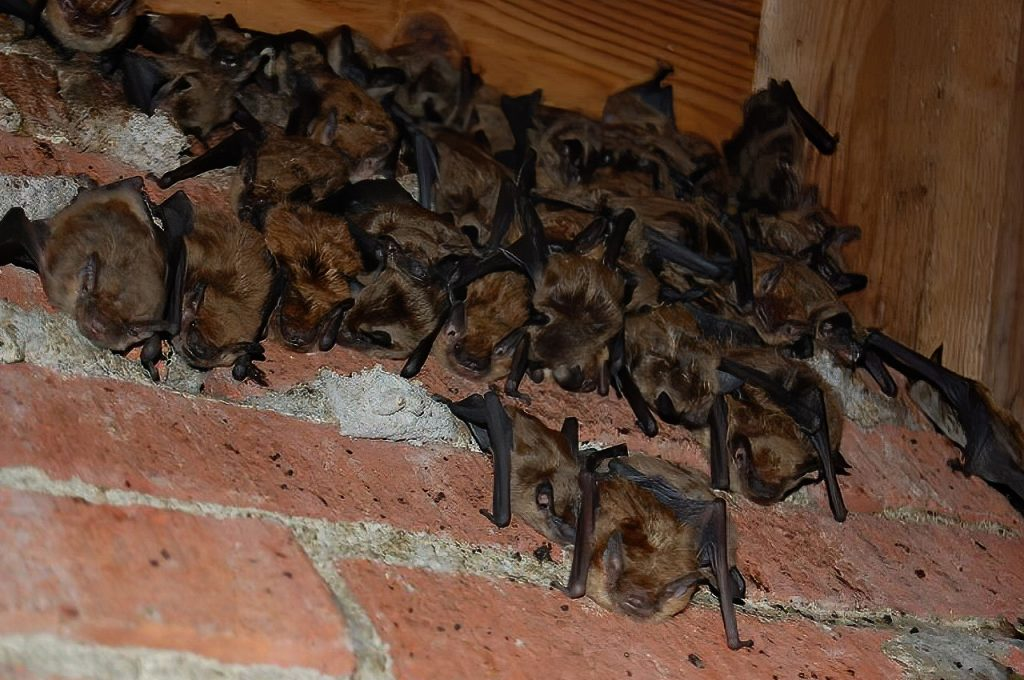 Bat Guano Contamination photo of bats clinging to a brick chimney in the attic.