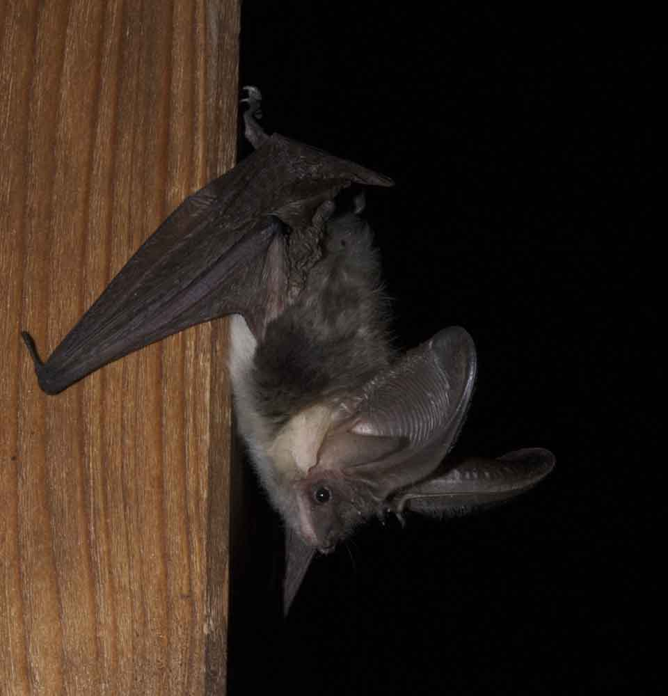 photo of bat clinging to wall