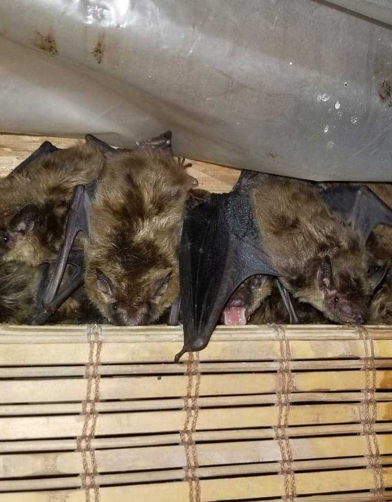 photo of bats behind curtain