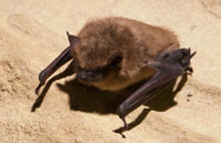 bat removal professionals photo of a big brown bat
