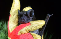bat removal professionals photo of a Florida Bonnetted bat