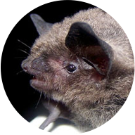 Indiana Bat Photo