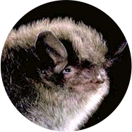 little brown bat photo