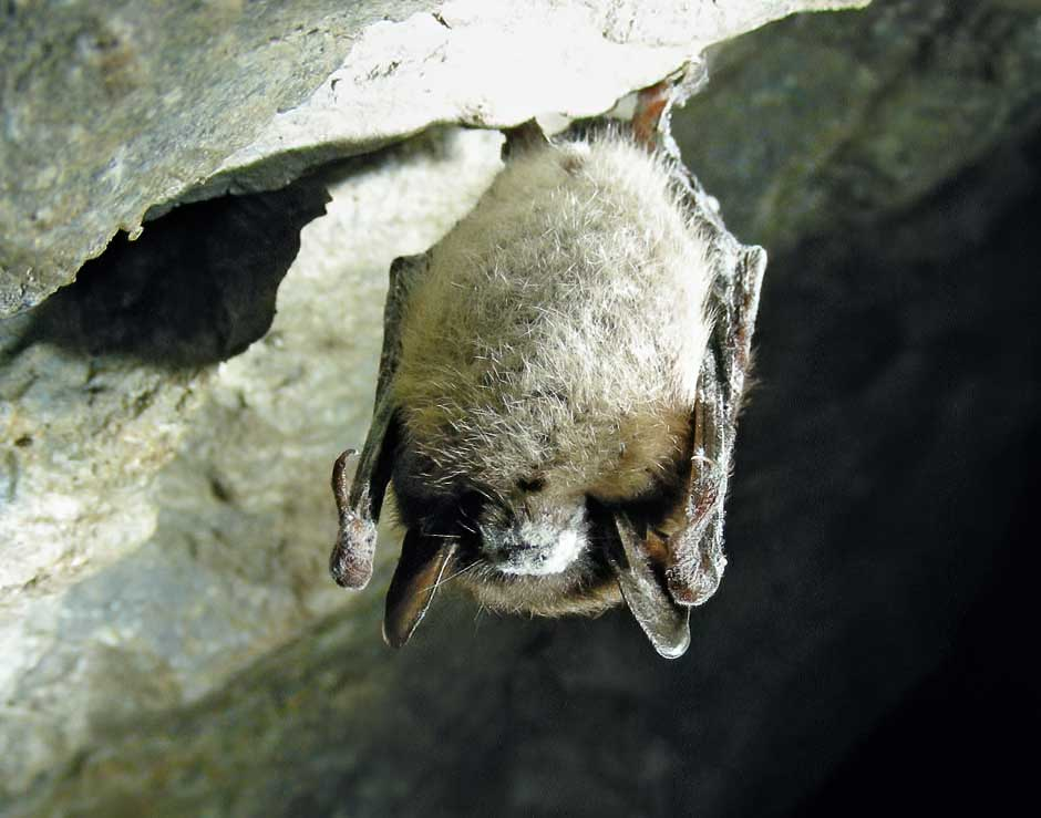 photo of bat with white nose syndrome