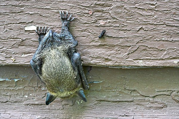 Photo: Bat on a house on Florence Kentucky bat removal page.
