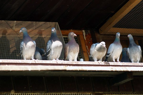 Photo: Birds on a roof on Delhi Ohio bat removal page.