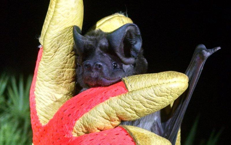 Photo: Florida Bonneted Bat at Bat Removal Pro - General information