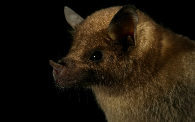 Photo: Mexican Long Nosed Bat at Bat Removal Pro