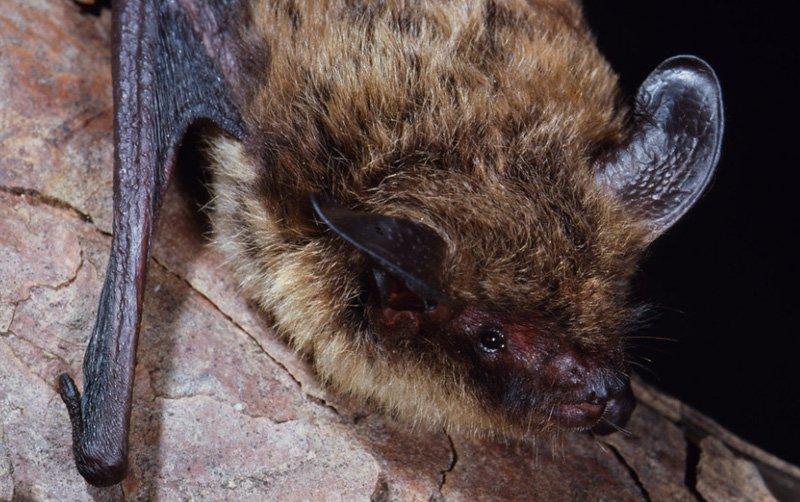 Photo: Northern Long Eared Bat at Bat Removal Pro Directory Of Bat Removal Professionals