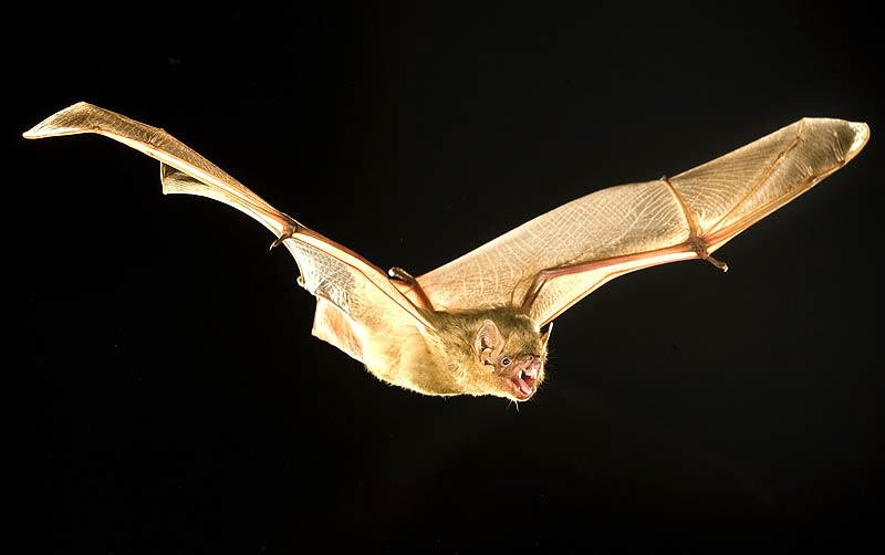 Photo: Northern Yellow Bat at Bat Removal Pro Directory Of Bat Removal Professionals