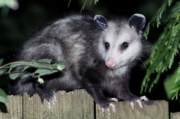 Photo: Opossum on fence on Teton County Jackson Hole bat removal page
