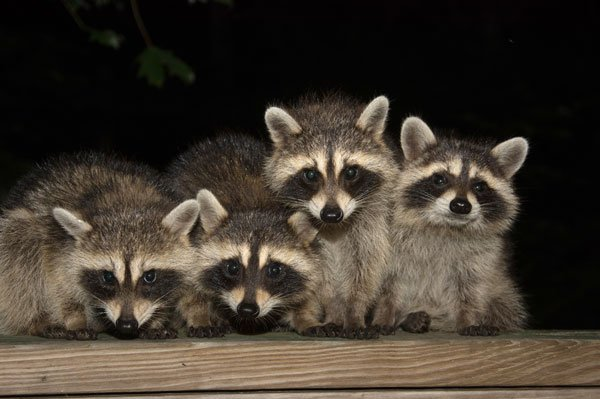 Photo: Raccoons in backyard on bat removal page
