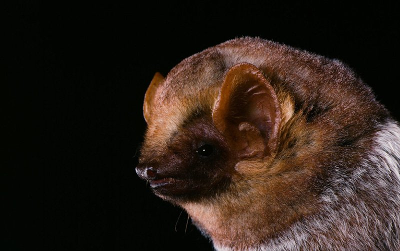 Photo: Seminole Bat at Bat Removal Pro Directory Of Bat Removal Professionals