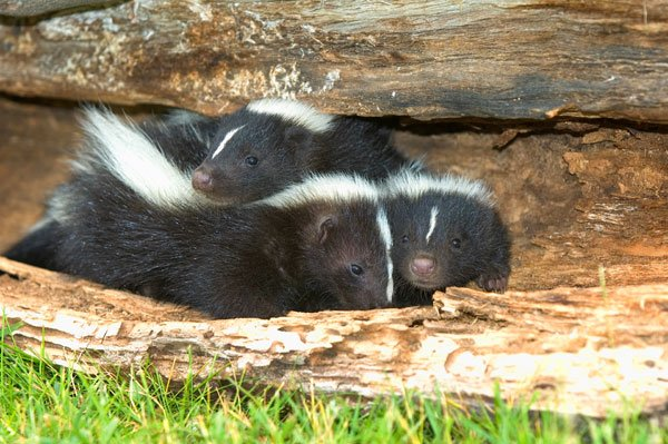 Photo: Skunks in yard