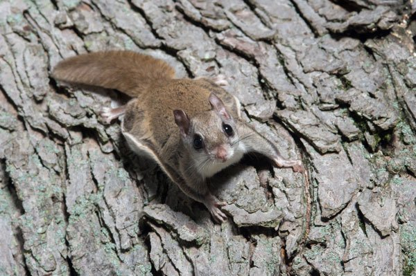 Photo: Flying Squirrel on tree on Teton County Jackson Hole bat removal page