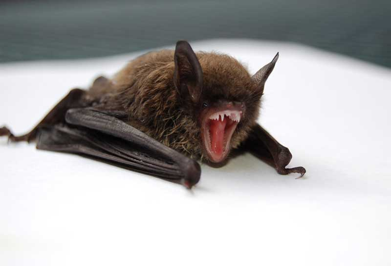 A photo of a bat showing its sharp teeth. Yes, bats can bite and will if handled improperly. If you have a bat in your home you want the Delhi Ohio Bat Removal experts at Advanced Wildlife Management.