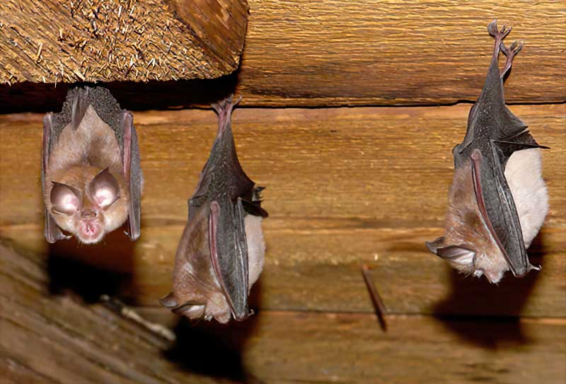 A photo of 3 bats hanging out in an attic. The Delhi Ohio Bat Removal team got into the attic and excluded the bats.